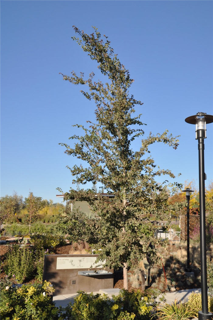 Plant photo of: Ulmus parvifolia 'Emer ll'