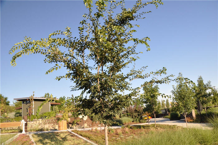 Plant photo of: Ulmus 'Morton'
