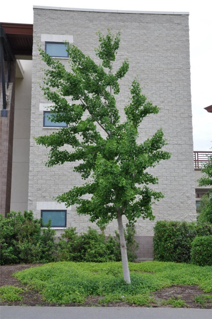 Plant photo of: Ginkgo biloba
