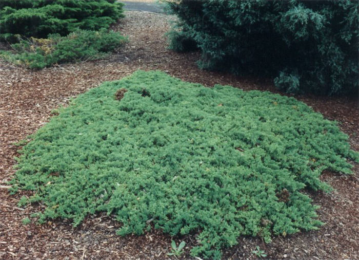 Plant photo of: Juniperus procumbens
