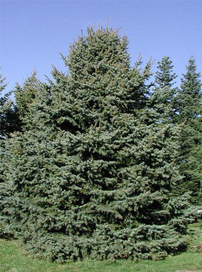 Plant photo of: Picea pungens