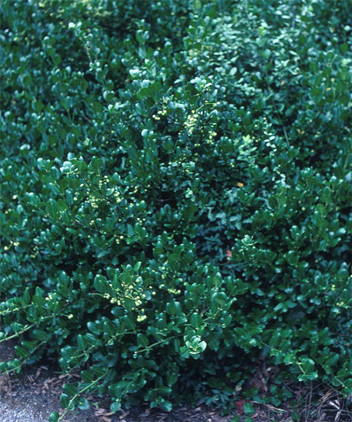 Plant photo of: Euonymus fortunei