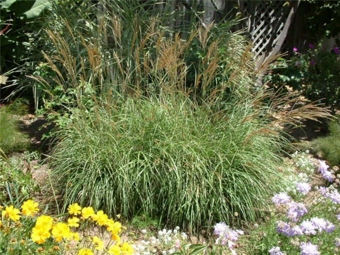 Plant photo of: Miscanthus sinensis