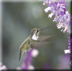 Attracts Hummingbirds