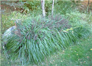 Moudry Fountain Grass