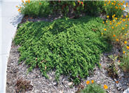 Prostrate Creeping Juniper