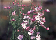 Bush Penstemon; Sand Penstemon