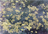 Calistoga Yarrow