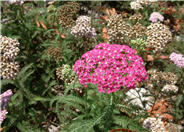 Cerise Queen Yarrow