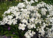 Greek Yarrow