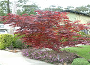 Red Cutleaf Japanese Maple