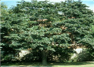 Schwedler Norway Maple