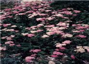 Rose Yarrow