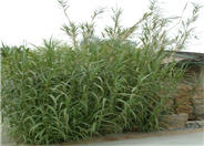 Giant Reed, Arundo Reed