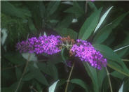African Queen Butterfly Bush