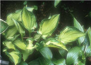 Hosta 'Dylan's Dilly'