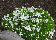 Little Gem Candytuft