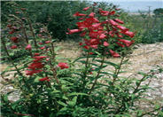 Firebird Penstemon