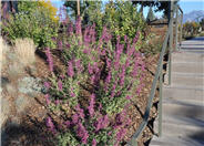 Sonoran Sunset Hummingbird Mint