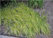 White-edged Hakone Grass