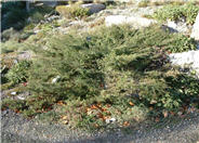 Hornibrook Juniper