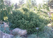 Creeping Norway Spruce