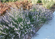 Lavance Purple English Lavender