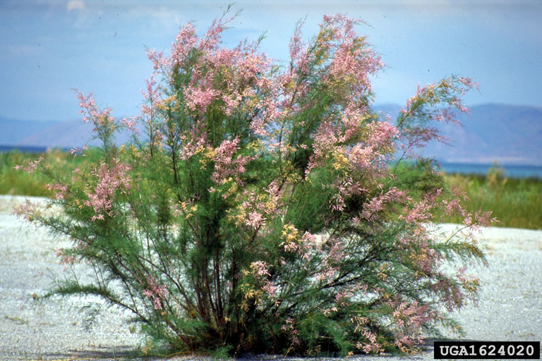 Weed photo of: Tamarix spp.