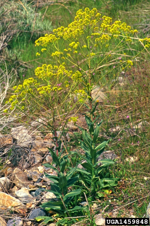 Weed photo of: Isatis tinctoria